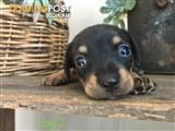 Chiweenie puppies (dachshund x chihuahua)