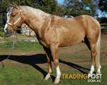Quarter Horse Stallion for Service Work