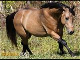 Quarter Horse Stallion for Service Work