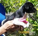 Delightful mini foxie pup, 8 wk old, very friendly, ready for new home now
