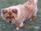 Chow chows full pedigree, 2 adult females - not desexed
