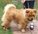 Chow chows - good pedigree - 2 adults looking for new homes