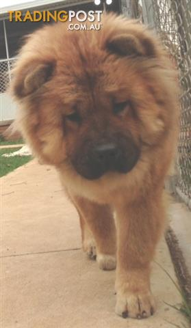 Chow chows - main register, 1 male & 2 adult females - not desexed