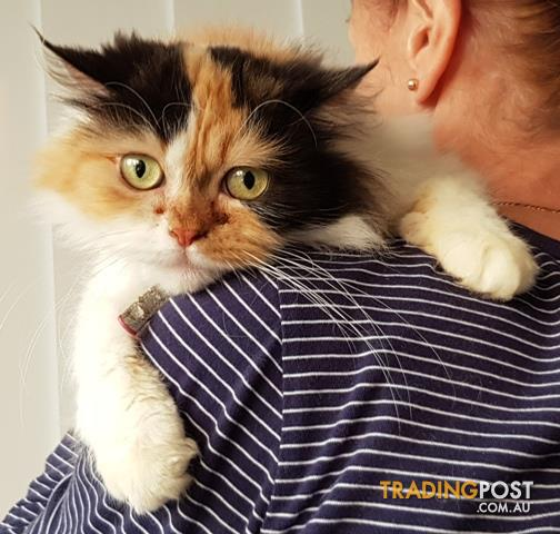Adopt a Cat today - Rescue cats need homes - will deliver locally