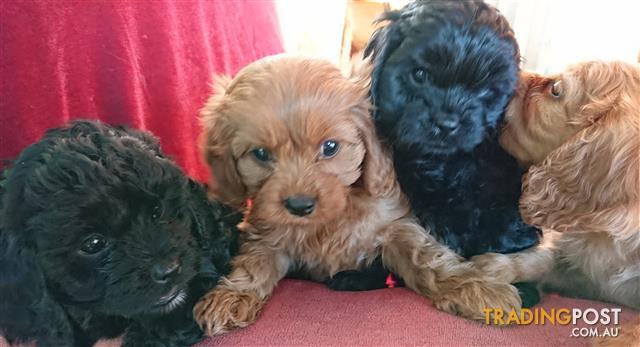 Gorgeous Ruby and Black Cavoodles