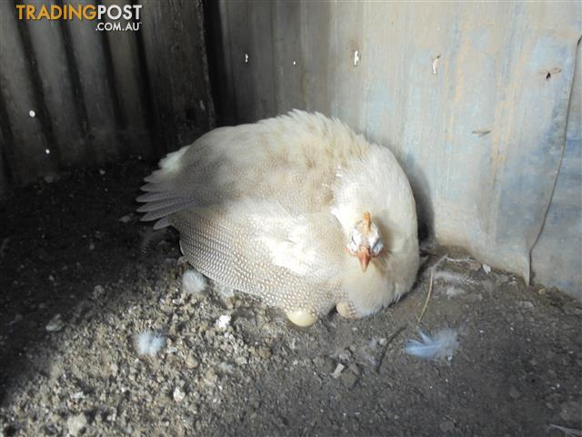 Guinea Fowl Keets 4 Sale
