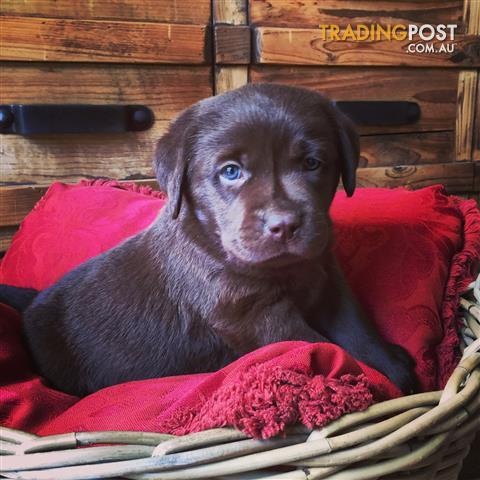 Labrador Puppies Find Puppies For Sale In Nsw Australia
