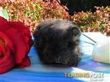 purebred baby texel guinea pigs