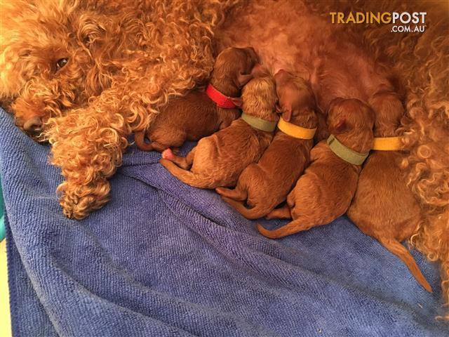 Pug x Maltese - Male Pup - Puppyworld
