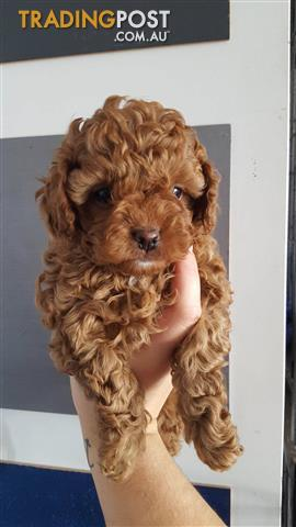 Cavoodle -2nd Generation Small Red Female Cavoodle