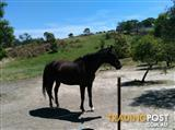 Ruby 16.2 black thoroughbred brood mare.