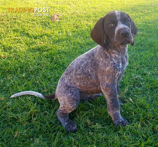 Purebred German Shorthair Pointer Pups For Sale