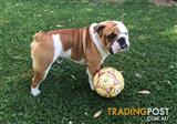 British Bulldog available for stud services