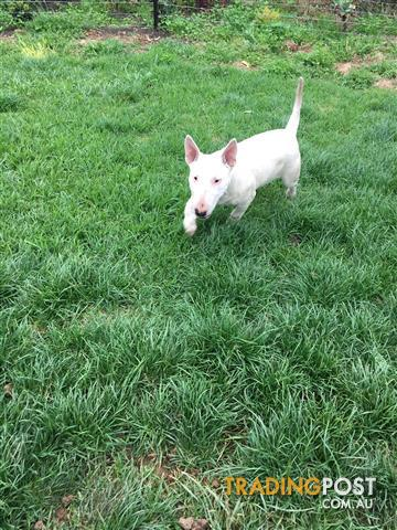 Miniature Bull Terrier Pup female 5 months old