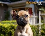 French Bulldog Puppy For Sale Sydney