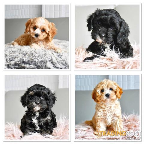 Toy-Cavoodle-Puppies-For-Sale-Sydney