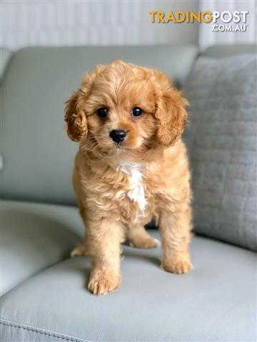 Cavoodle-Puppies-For-Sale-Sydney-Rich-Gold-Caramel-Coloured
