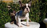 Pure Bred French Bulldog Puppy For Sale Sydney