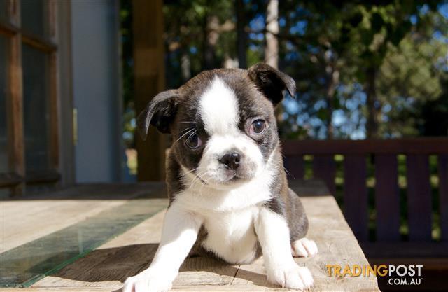 Boston Terrier X Pug Puppies Bugg