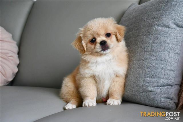 Tibetan-Spaniel-Puppy-For-Sale-Sydney