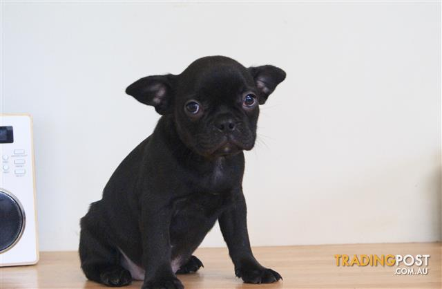 French Bulldog x Boston Terrier Puppies For Sale Sydney