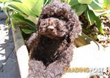 Chocolate Labradoodle Puppies For Sale Sydney