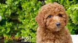 Pure Mini and Pure Toy Poodle Puppies For Sale Sydney