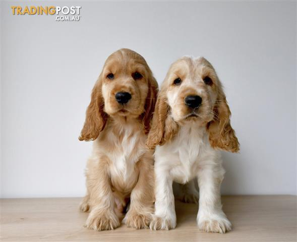 English-Cocker-Spaniel-Puppies-For-Sale-Sydney