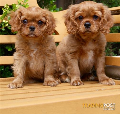 Cavalier King Charles Spaniel Dogs For Sale Nsw