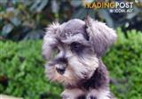 Pure Bred Mini Schnauzer Puppy