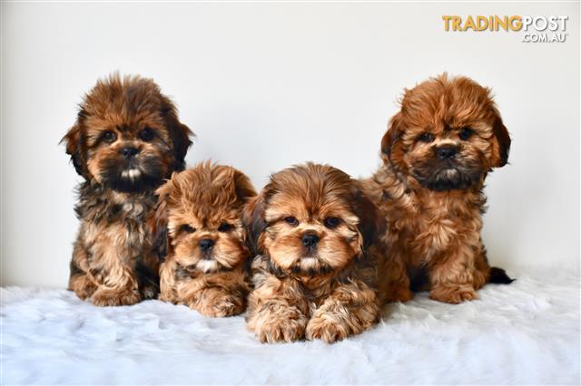 Cava Tzu Cavalier X Shih Tzu Puppies For Sale Sydney