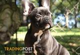 French Bulldog Puppy - Beautiful Black puppy
