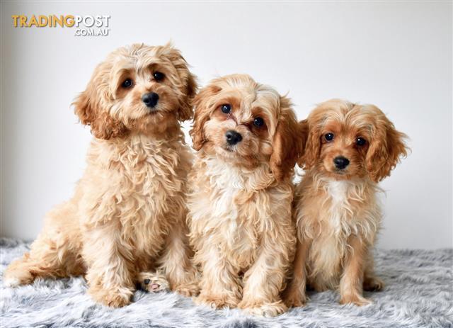 Cavoodle-Puppies-For-Sale-Sydney