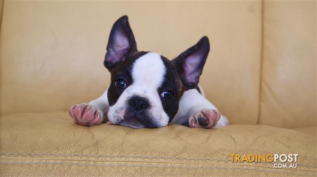 French Bulldog Puppies For Sale Sydney