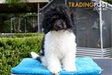 Mini Parti Poodle Puppy - Rare colour pattern