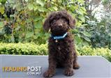 Chocolate Mini Labradoodles for Sale Sydney
