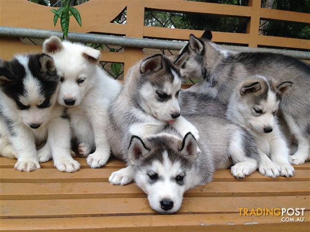 Pure Bred Siberian Husky Puppies For Sale Sydney