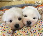 Westoodle puppies