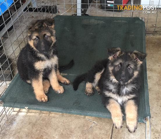 Pure-Bred-Long-Haired-German-Shepherd-Pups-2-only-left