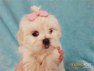 Find Puppies Kittens And Other Pets For Sale Tradingpost Australia