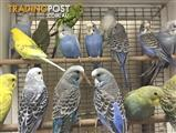 Young Budgies *male and female*