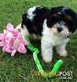 CAVOODLE PUPPIES F2B