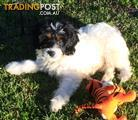 CAVOODLE  puppies      Male & Female