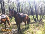 Reg bay Arabian mare