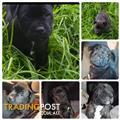 Staffordshire bull terrier puppies Purebred