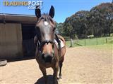 Warmblood broodmare by Universums Knockout