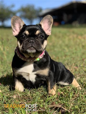 Top 10 Punto Medio Noticias | Teacup French Bulldog For Sale Melbourne