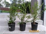 150 X Buxus hedging plants for sale. Well established