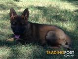Stunning sable female German shepherd with papers
