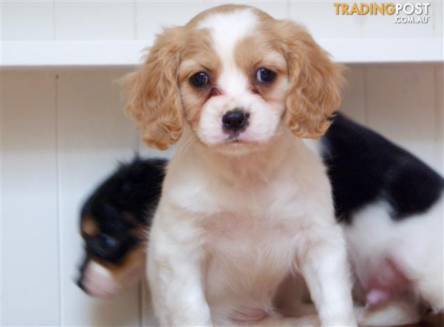 Cavoodle Puppies For Sale Sydney